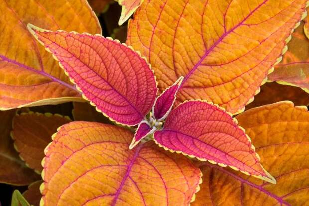 A coleus plant displays colorful foliage in golden orange tones with magenta red accents in the summer flower garden.