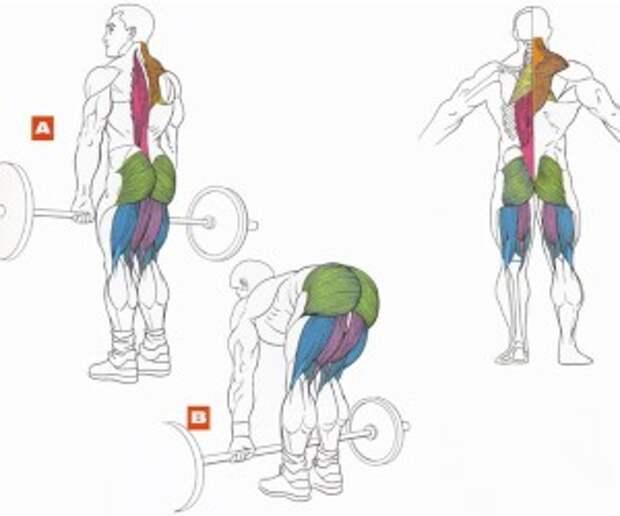 Мышцы, участвующие в мёртвой тяге