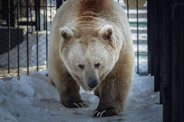 В Красноярском зоопарке проснулся медведь Памир: зима больше не вернется. Фото пресс-службы зоопарка