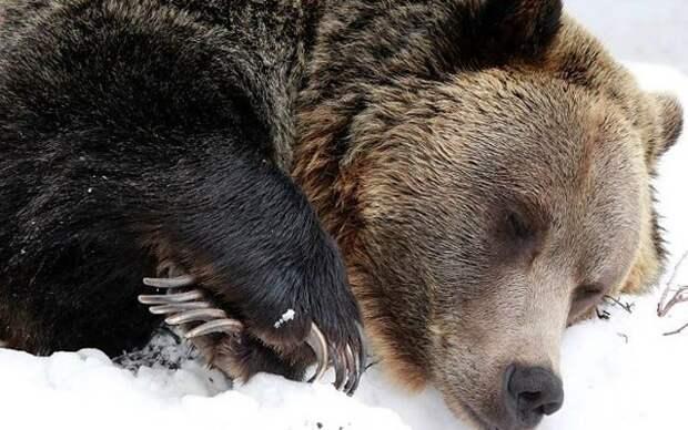 Вот что происходит с медведем во время зимней спячки