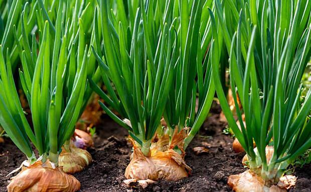 Сажаем лук по 4 луковицы в одну лунку. Растет кучнее, урожая больше и меньше подвержен вредителям