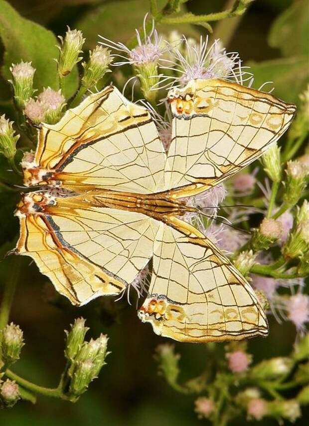 В Китае, Индии, Южной Америке  бабочки - вкусное лакомство бабочки, интересное, красота, насекомые