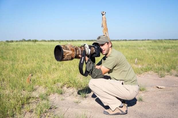 Дружба между сурикатами и фотографом