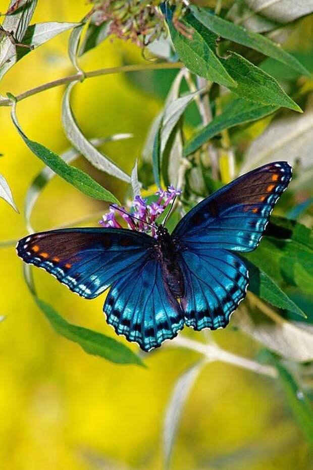 Бабочки не слышат, но распознают хищников и прочую опасность по вибрациям. бабочки, интересное, красота, насекомые