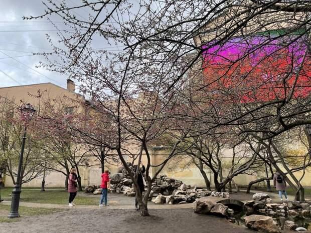 В саду Дружбы зацвела сакура! Пять фотографий японской весны в центре Петербурга