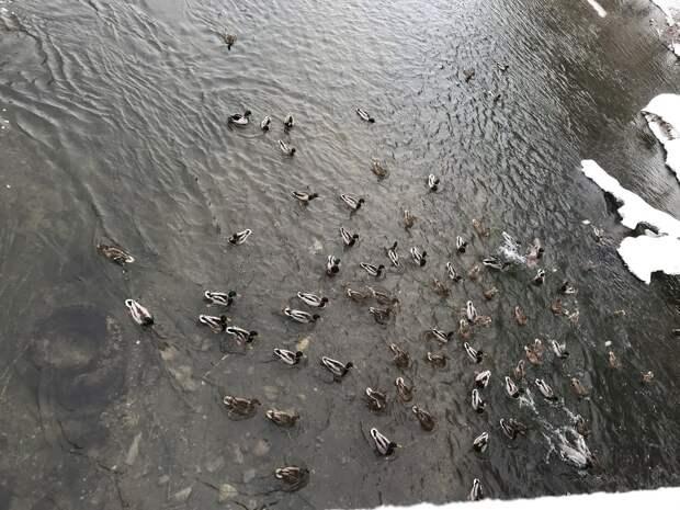 В Воткинске подсчитали рекордное количество уток на реке Вотка