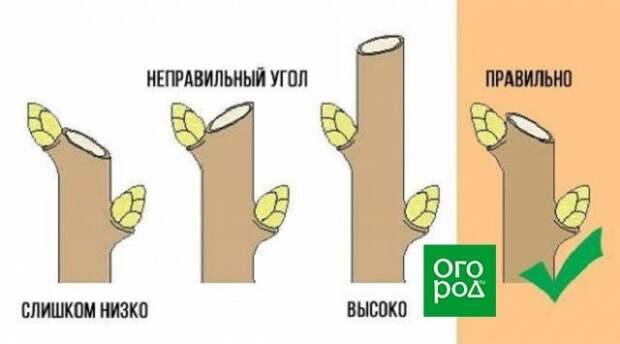 Правильная техника обрезки ветви