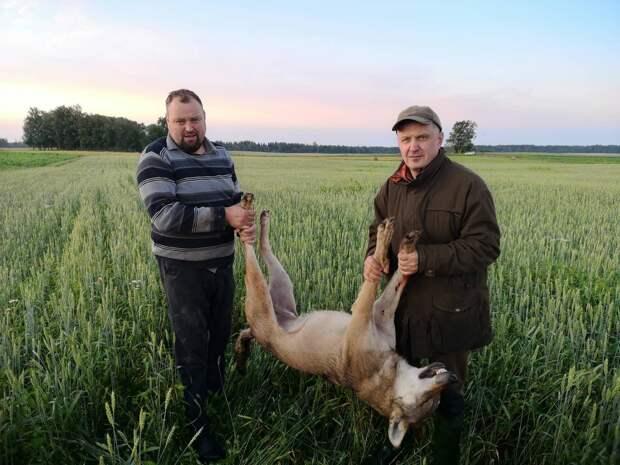 Волк в Прибалтике – зло или необходимая часть экосистемы?