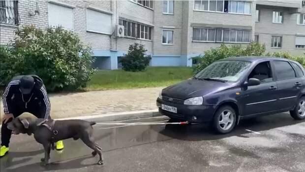 В Воронеже собака установила мировой рекорд. Она протащила машину весом более тонны