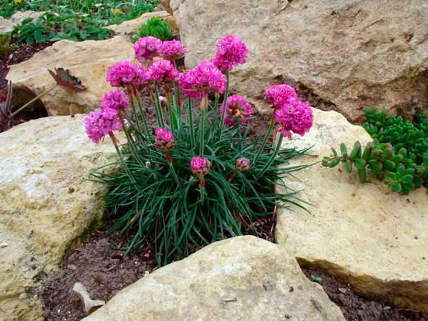 Многолетний садовый цветок Армерия (Armeria)