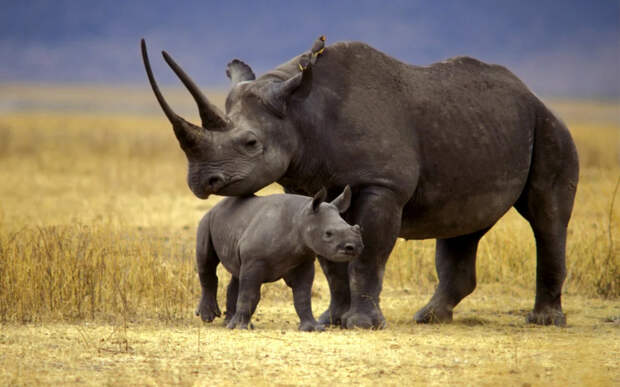 Чёрный носорог: Путь носорога – смерть. Самки вызывают самцов на поединок, чтобы проверить их силу