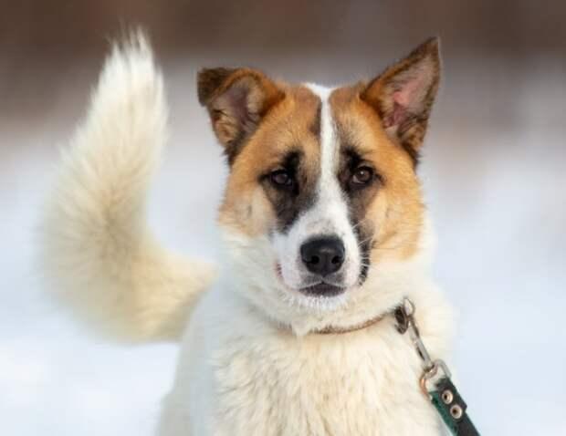 Собака жила у мясного магазина, пока не попала под колеса автомобиля волонтер, история, лайка, пес, приют, собака, щенок