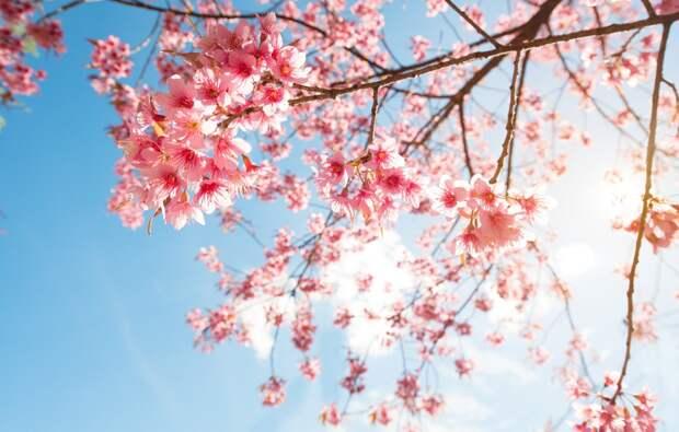Ветви сакуры вблизи. Фото взято из открытых источников