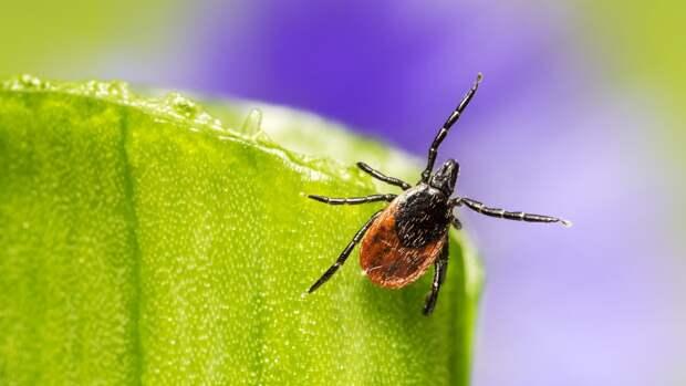 Прививка от энцефалита не способна полностью защитить от клещей