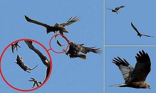Ястребы обменялись крысой в небе над британским заповедником в небе, заповедник, крыса, птица, фото, ястреб, ястребы