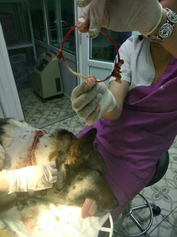 В Твери спасли собаку с вросшей в шею верёвкой