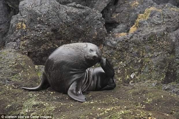 Гуадалупский морской котик Галапагосы, австралия, животные, интересно, мадагаскар, познавательно, редкие животные, эндемики