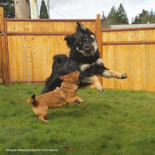 Смешные фотографии домашних животных, присланные на фотоконкурс Comedy Pet Photo Awards 2020