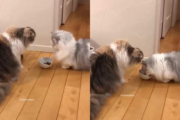 Нерешительная борьба кошек за корм развеселила пользователей соцсетей