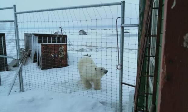 Полярники наметеостанции острова Вайгач дали имена белым медведям, которые ежедневно заходят кним в гости