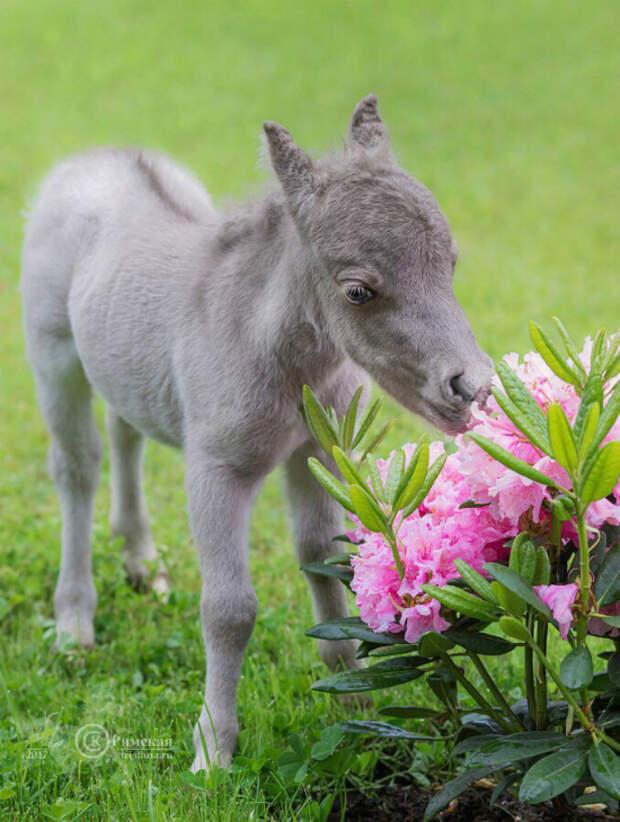 В Ленинградской области родился возможно самый маленький конь в мире