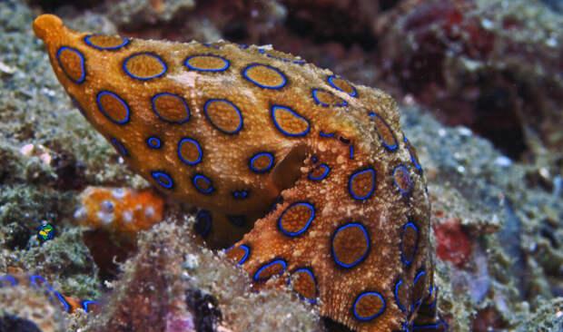 Яд синекольчатого осьминога не имеет противоядия