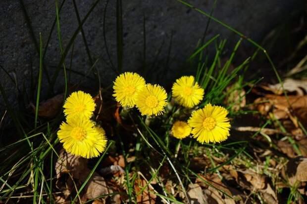 От любой беды — цветы мать-и-мачехи