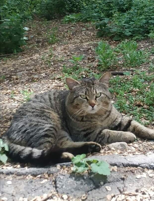 Интеллигентного кота Чипа перестали обижать во дворе, когда у нас появился уличный кот Лизун