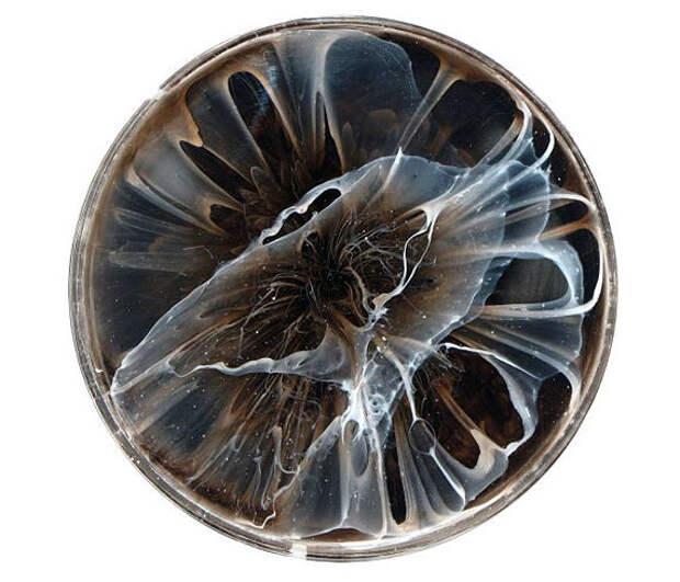 Клари Рейс: картины в чашках Петри