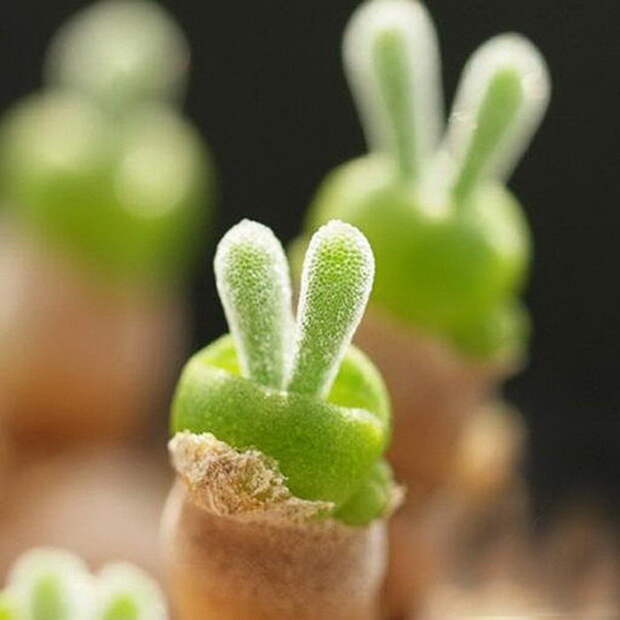 Суккулент, похожий на ушки кролика: Monilaria obconica