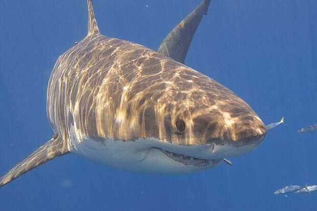 Диета белых акул: сюрприз от биологов