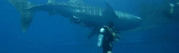 Дайвер не понимал, что от него хочет китовая акула. Пока животное не схватило его за руку