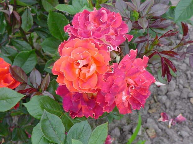 Многоцветные розы Chocolate Ruffles