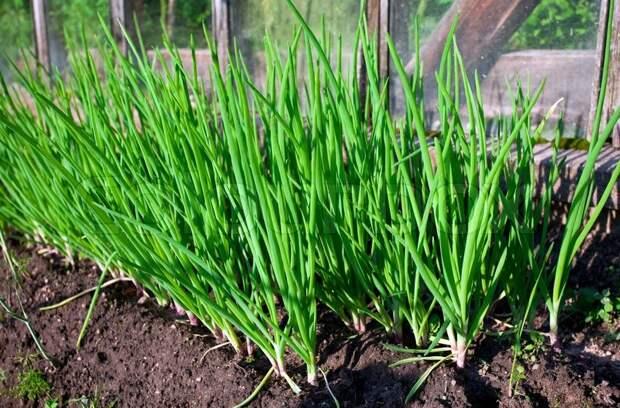 Лук из севка (успешный опыт одной огородницы)