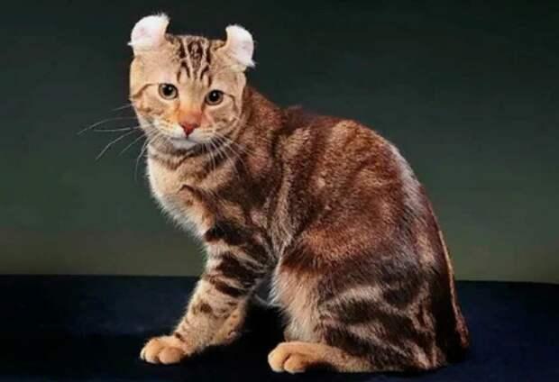 12 самых дорогих пород кошек — красивые и аристократичные