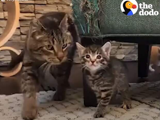 Дикий кот стал любящим и заботливым дедушкой для домашних котят