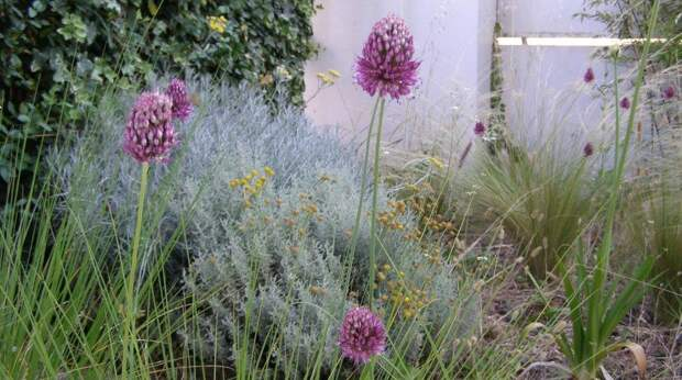 Аллиум и декоративные травы