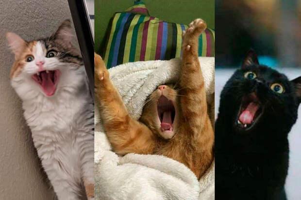 10+ зевающих котов, глядя накоторых захочется сделать тожесамое
