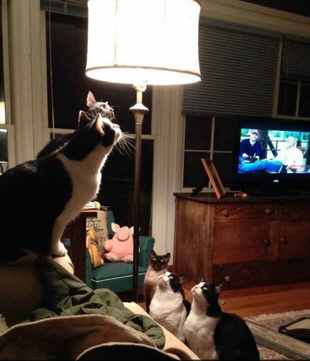 Собрание открыто: 2 парня на ТВ, свинюшка и 5 котов животные, коты, смешные картинки, юмор