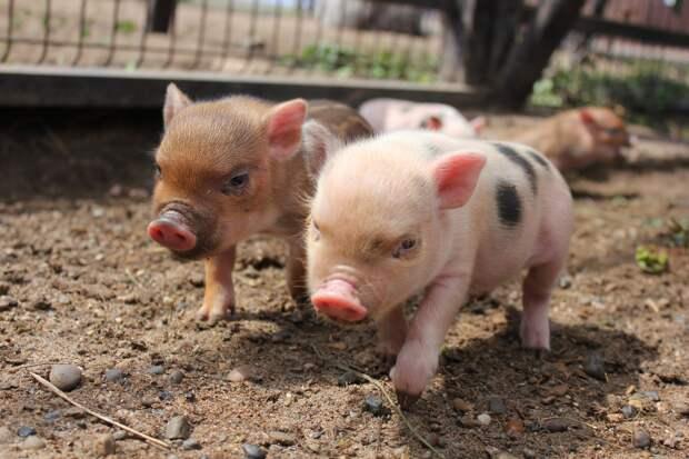 Хрюкающее пополнение: в зоопарке Ижевска родились пять мини-пигов