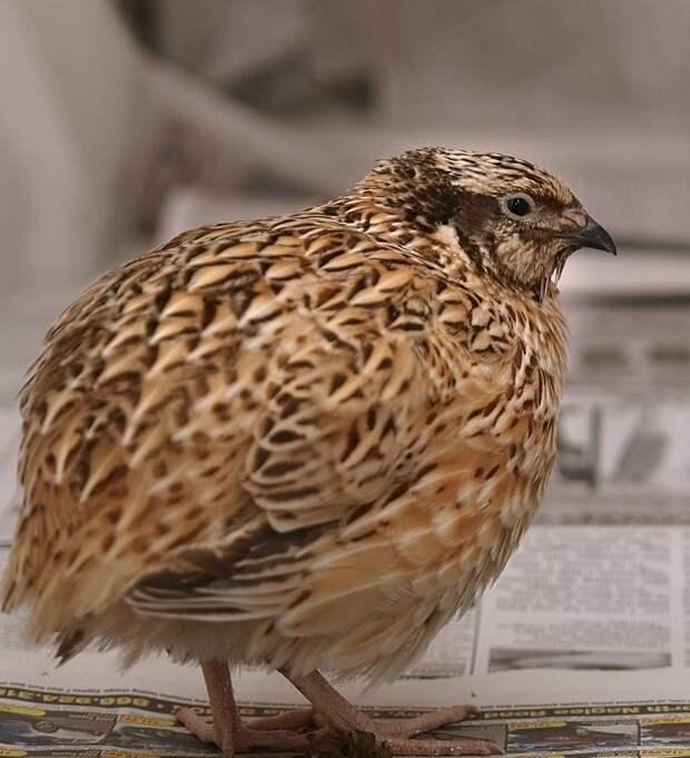 Биологи МГУ продемонстрировали сходство между птичьим и человеческим сердцами