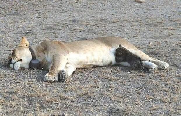Впервые опубликованы фото, на которых львица