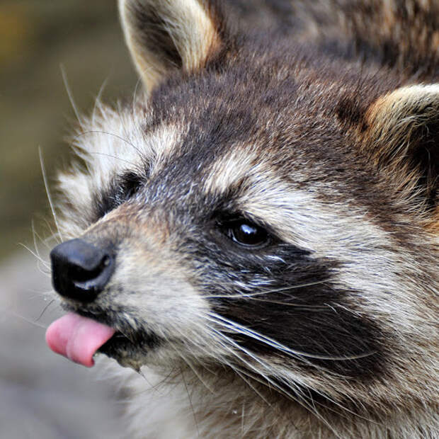 Животные тоже умеют дразниться.
