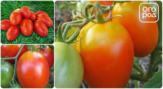 томаты, помидоры сорт Акварель