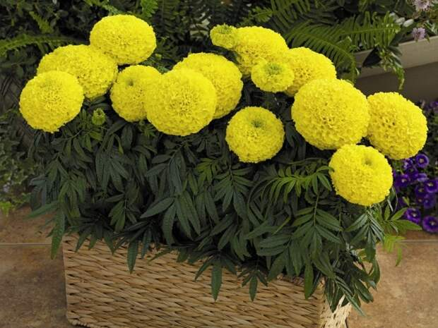 ДЛЯ УЧАСТКА Самые неприхотливые цветы для балкона цветущие все лето