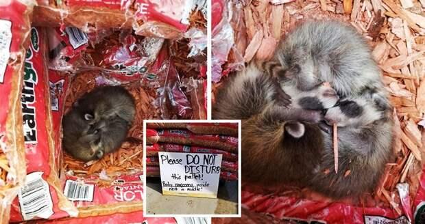 Сотрудники магазина нашли новорожденных енотов среди мешков и написали милую табличку в мире, добро, енот, животные, поступок, спасение