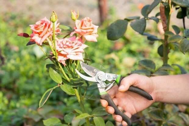 обрезка бутонов роз
