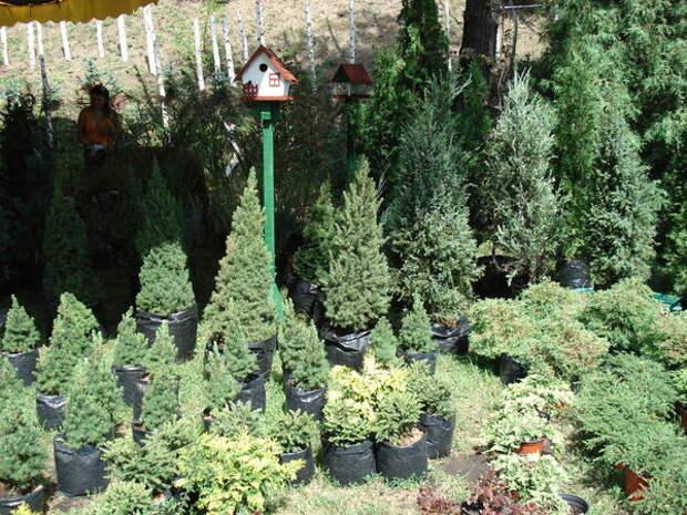 Богатый выбор хвойных растений на выставке