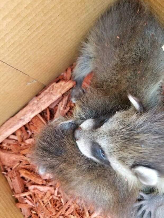 Сотрудники магазина нашли новорожденных енотов среди мешков и написали милую табличку