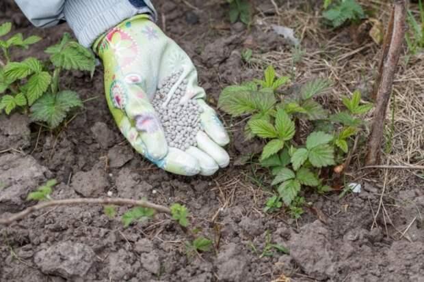 Внесение удобрений для ежевики осенью
